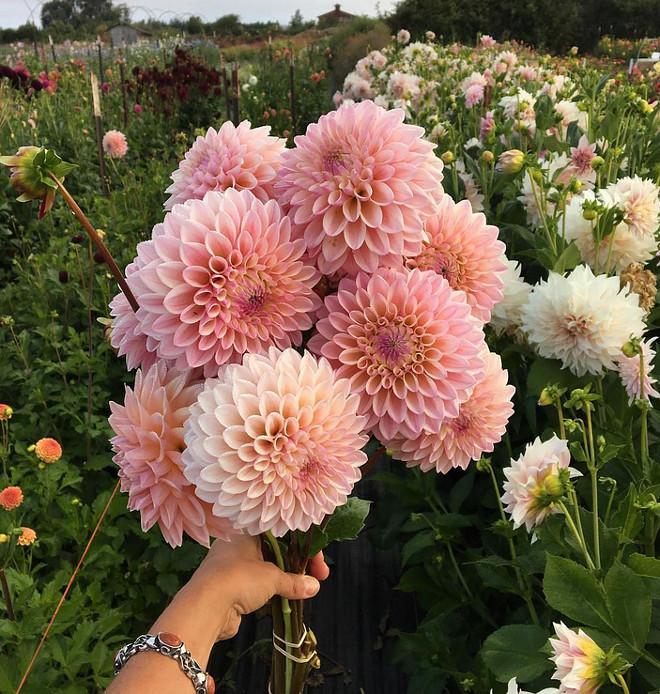 Dahlia. Dahlias. Dahlias. Dahlia Flower. Flowers Garden #Dahlia #gardens #garden #flowers #flower Via floretflower