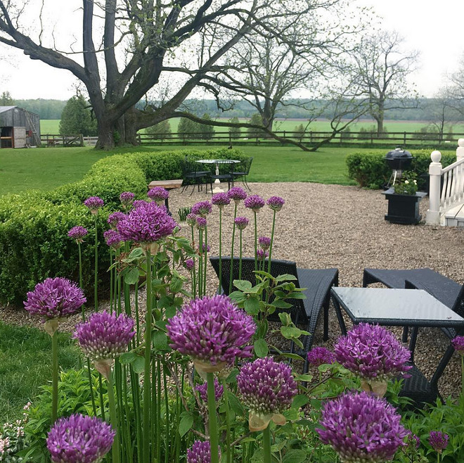 Farmhouse garden ideas. Alliums and gravel patio. Alliums #Alliums #farmhouse #farmhousegarden #farmhousegardens #farmhousegardenideas Home Bunch's Beautiful Homes of Instagram Cynthia Weber Design @Cynthia_Weber_Design
