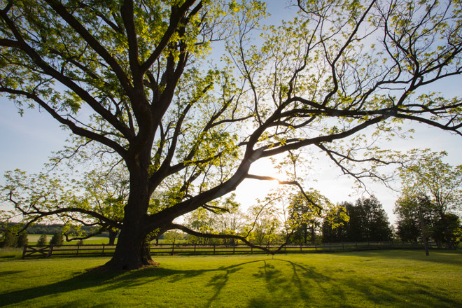 Old trees. Tree Photography. This Black Walnut tree guards over BannockBurn 1878. It has a trunk over 20 feet in circumference and sweeping limbs that seem to reach out and beg you to come sit and dream. #tree #photography Home Bunch's Beautiful Homes of Instagram Cynthia Weber Design @Cynthia_Weber_Design