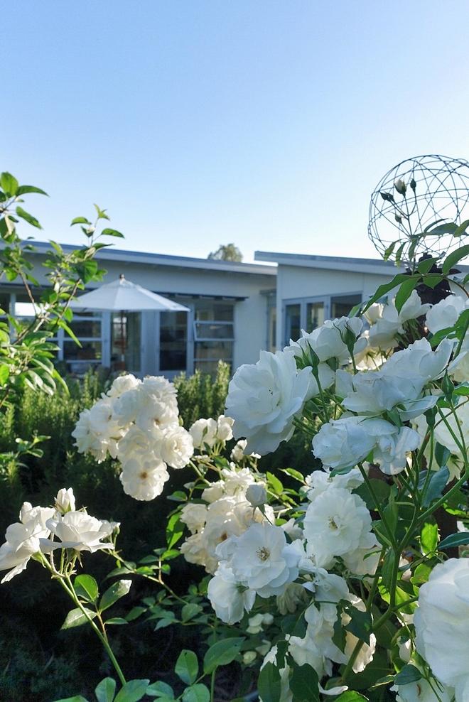 Garden White Roses White Roses Garden Ideas Landscaping White Roses #WhiteRoses