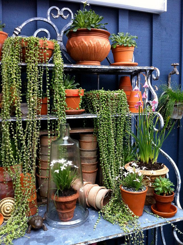 Garden Plants. Pot plants. Pot Plant Ideas. Cloche jar Plants. Container plants. Greenhouse. Potted plants. Potting bench. Senecio rowleyanus, String of pearls, Succulents, Terra cotta pots. Glenna Partridge.